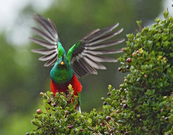 Quetzals Photograph - Quetzal Taking Flight by Photograph Taken By Nicholas James Mccollum