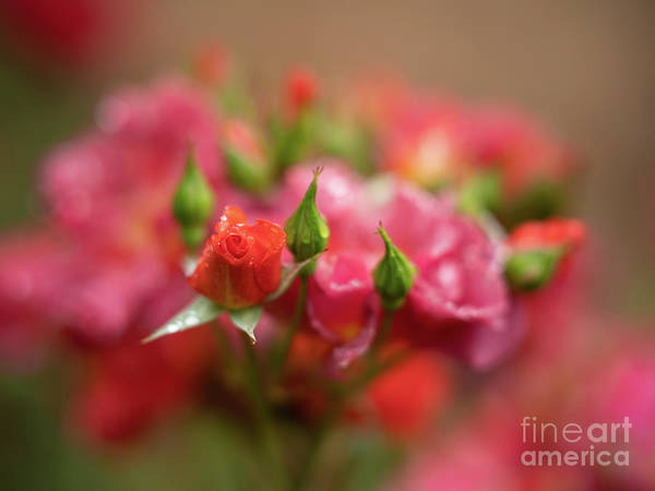 Wall Art - Photograph - Quiet Roses Dream Cinco De Mayo by Mike Reid