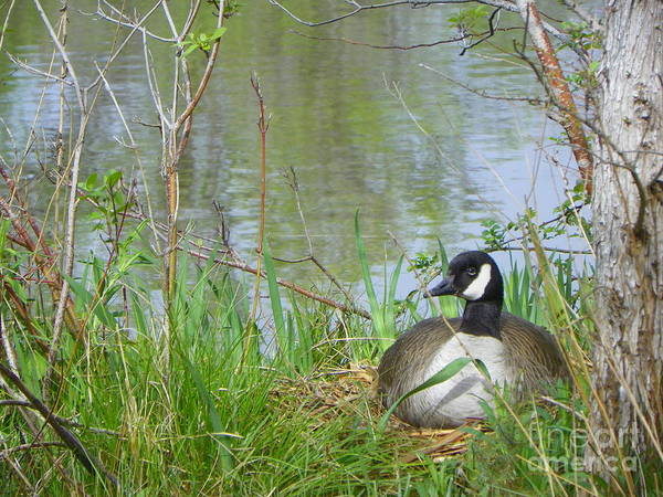 Wall Art - Photograph - Quiet Spring Day Canada Geese by Art Sandi