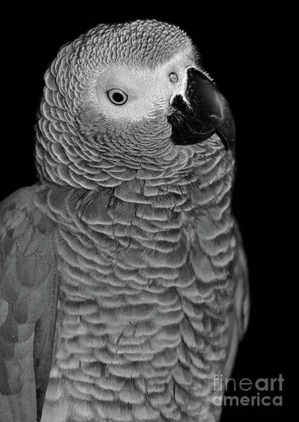 Photograph - Quizzical African Grey by Debbie Stahre