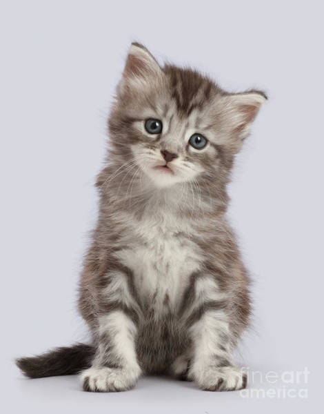 Photograph - Quizzical Kitten by Warren Photographic