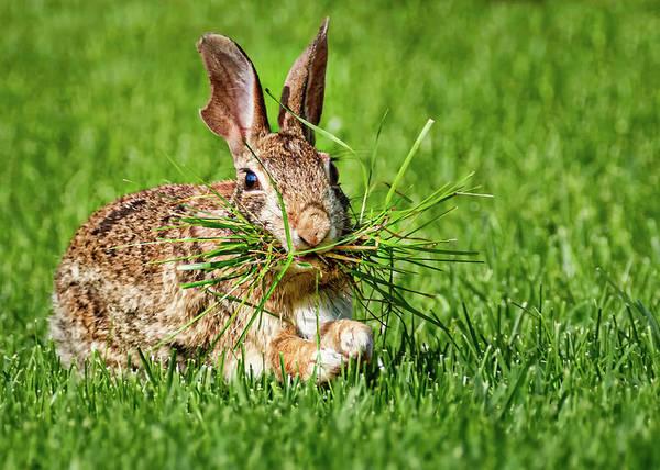 Photograph - Rabbit With Grass by Allin Sorenson