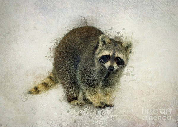 Furry Digital Art - Raccoon by Ian Mitchell