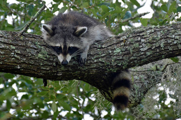 Photograph - Raccoon In Repose by Bruce Gourley