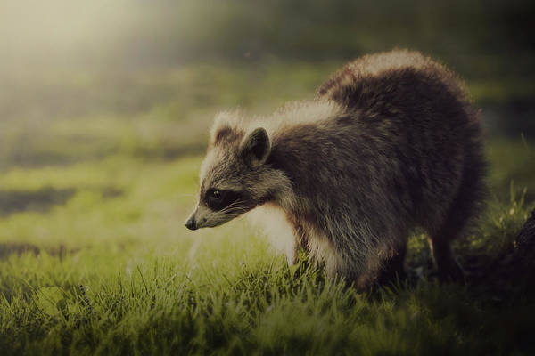 Raccoons Photograph - Raccoon In Sunshine by D3sign