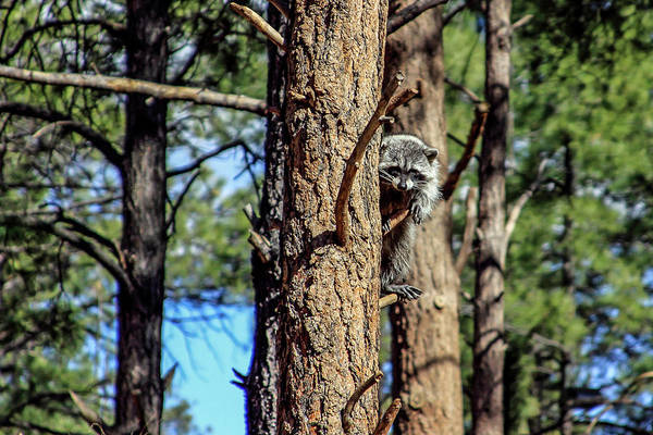 Photograph - Raccoon In Tree, Arizona by Dawn Richards