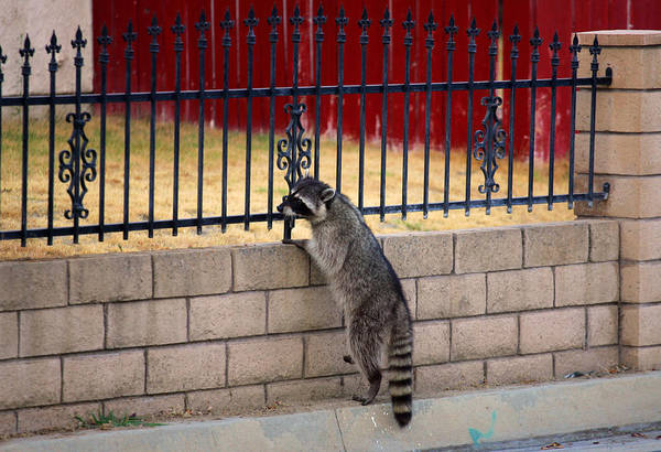 Photograph - Raccoon In Yard by Anthony Jones