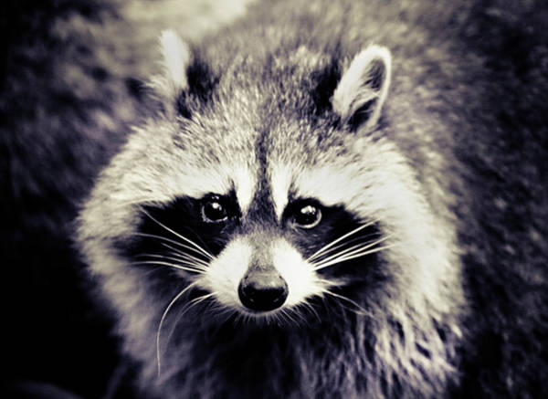 Raccoons Photograph - Raccoon Looking At Camera by Isabelle Lafrance Photography