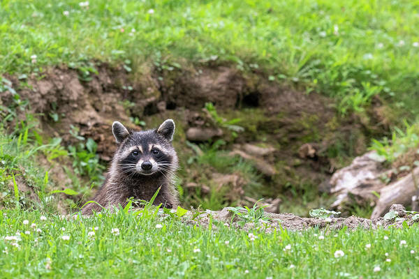 Photograph - Raccoon Peering Over Edge Of Ditch by Dan Friend