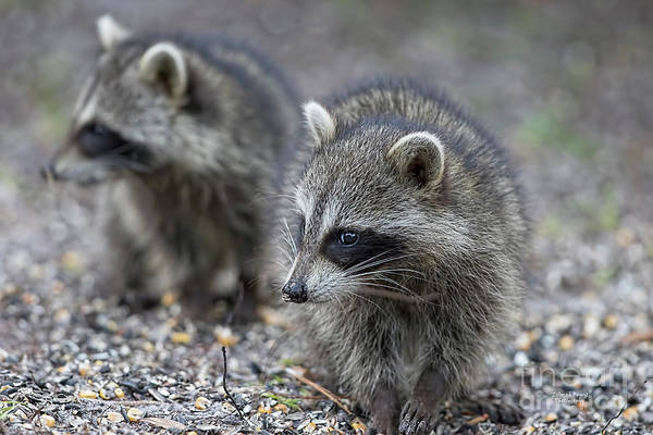 Wall Art - Photograph - Raccoon Siblings by Deborah Benoit