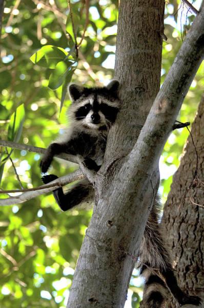 Raccoon Photograph - Raccoon Up Tree by Mark Newman