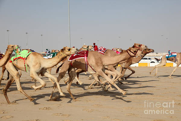 Speed Wall Art - Photograph - Racing Camels With A Robot Jockeys by Philip Lange