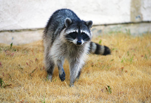 Photograph - Racoon by Anthony Jones