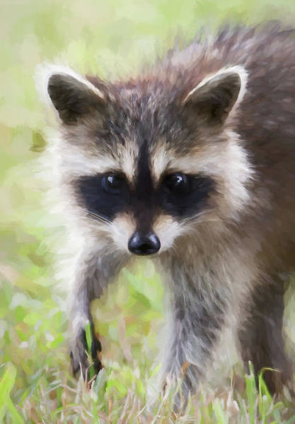 Wall Art - Digital Art - Racoon Painterly by Terry Davis