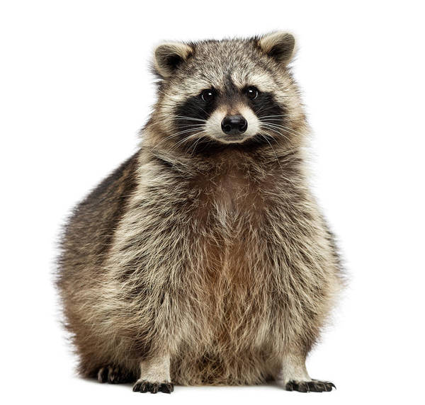 Raccoon Photograph - Racoon, Procyon Iotor, Sitting by Life On White