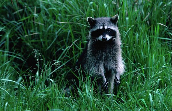 Raccoon Photograph - Racoon Procyon Lotor, Cape Alava. The by Tom Boyden