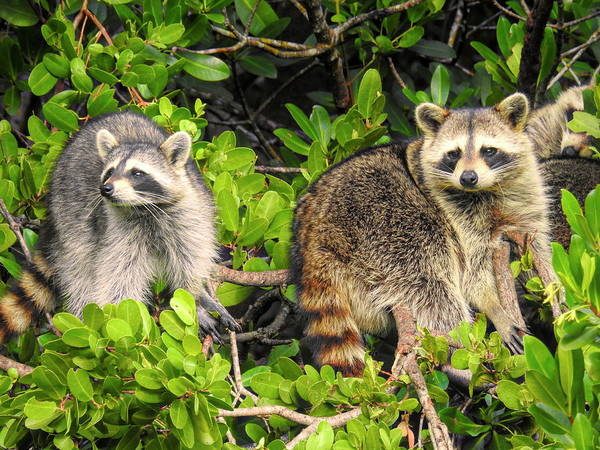 Photograph - Raccoons In The Mangroves by Robert Stanhope