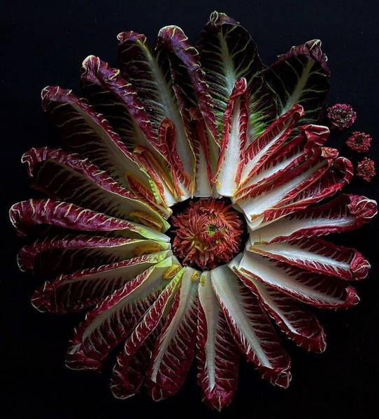 Photograph - Radicchio Burst by Sarah Phillips