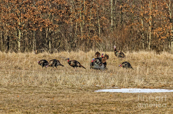 Photograph - Rafter Of Wild Turkeys by Sue Smith
