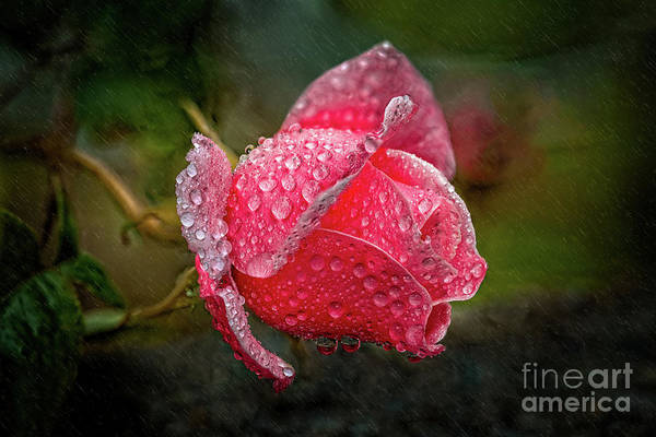 Photograph - Rain Drops On A Rose by Adrian Evans