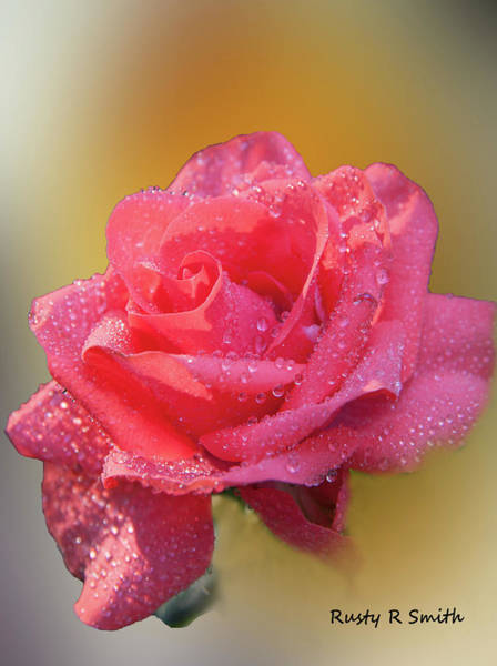 Digital Art - Rain Drops On A Rose Blossom. by Rusty R Smith