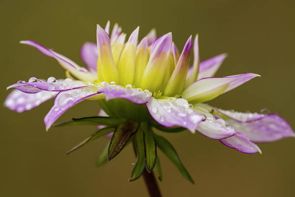 Photograph - Rain Drops On Dahlia by Robert Potts