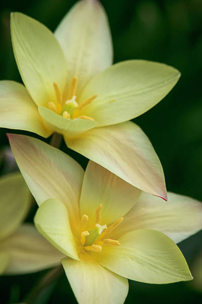 Photograph - Rain Lily Duo By Tl Wilson Photography by Teresa Wilson