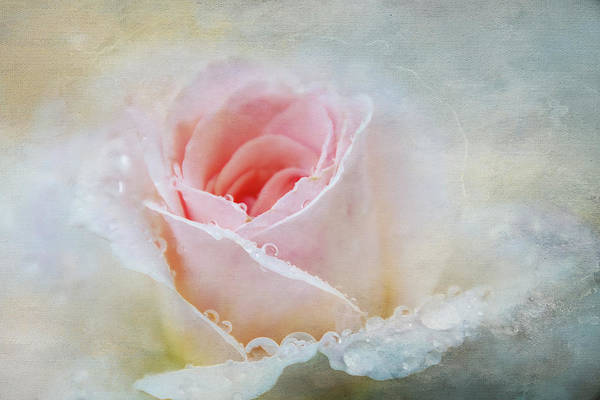 Wall Art - Digital Art - Rain Touched Rose by Terry Davis