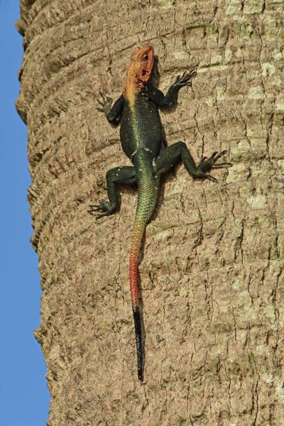 Wall Art - Photograph - Rainbow Agama Lizard by William Tasker