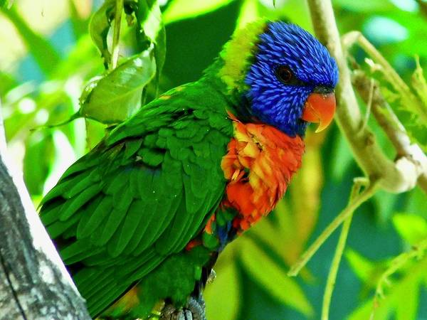 Photograph - Rainbow Lorikeet by Dan Miller