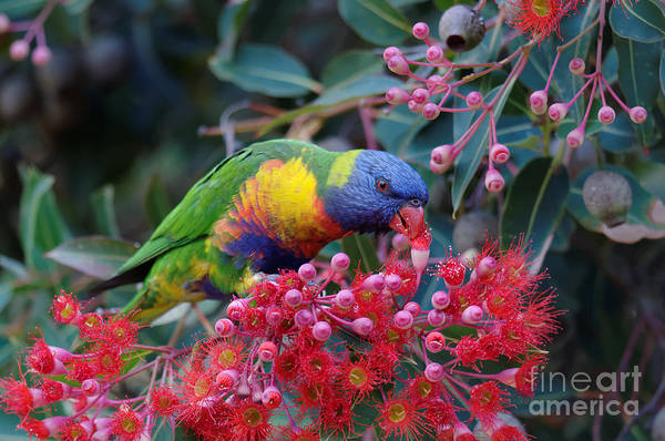 Bird In Tree Photograph - Rainbow Lorikeet Eating The Nectar From by Jun Zhang