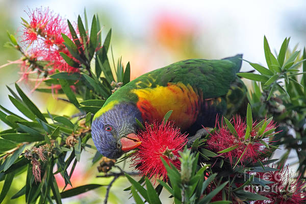 Colourful Wall Art - Photograph - Rainbow Lorikeet Trichoglossus by Dirkr