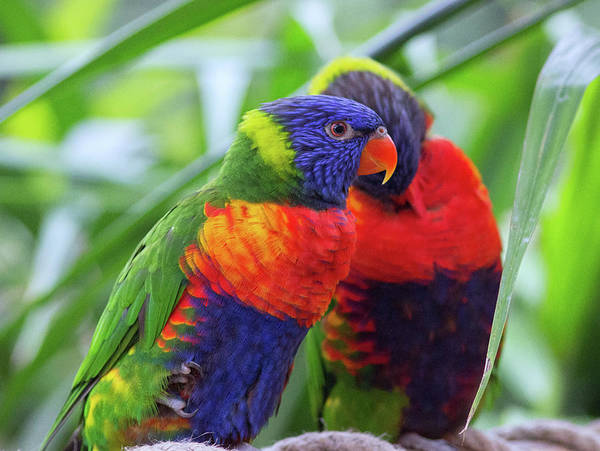 Wall Art - Photograph - Rainbow Lorikeets by Martin Newman