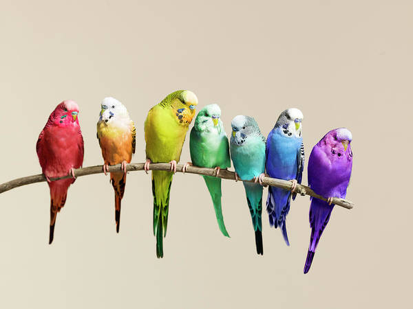 Branch Photograph - Rainbow Row Of Budgies Sat On A Branch by Walker And Walker