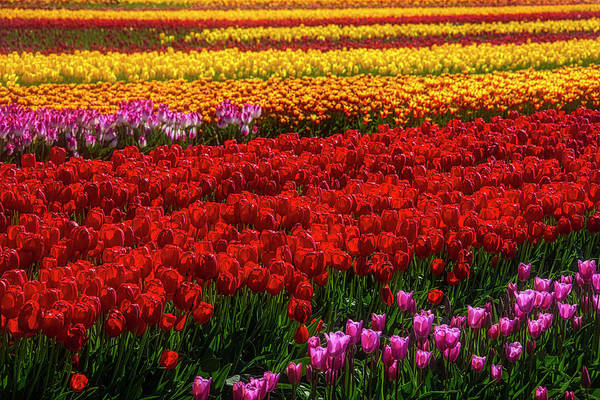 Wall Art - Photograph - Rainbow Tulips by Garry Gay