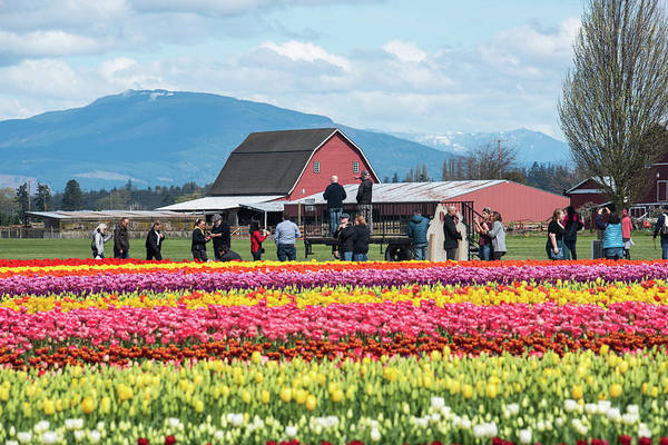 Photograph - Rainbow Tulips Red Barns Blue Mountains by Tom Cochran