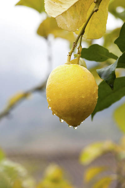 Hanging Photograph - Raindrops Dripping From Lemons by Guido Mieth