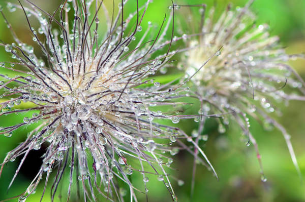 Photograph - Raindrops On A Pasque Flower Seedhead by Sharon Talson