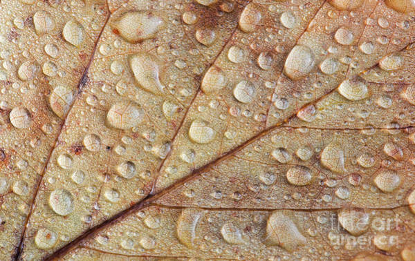 Photograph - Raindrops On Autumn Leaf by Tim Gainey