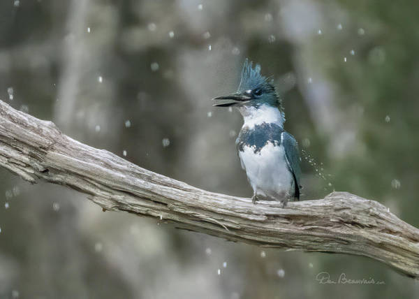 Photograph - Rainsoaked Kingfisher 4634 by Dan Beauvais