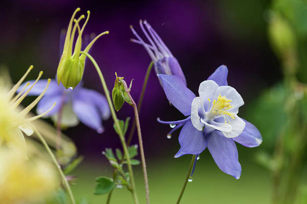 Photograph - Rainy Day Columbine by Robert Potts