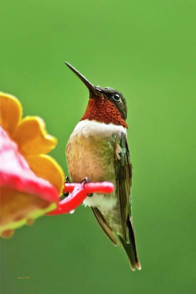 Photograph - Rainy Day Hummingbird by Christina Rollo