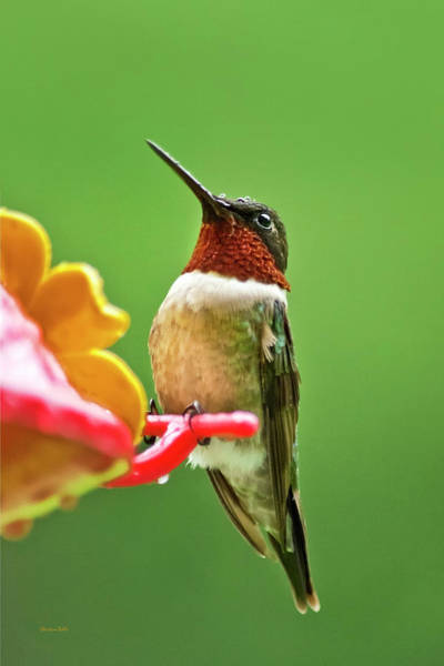 Hummingbird Feeder Photograph - Rainy Day Hummingbird by Christina Rollo