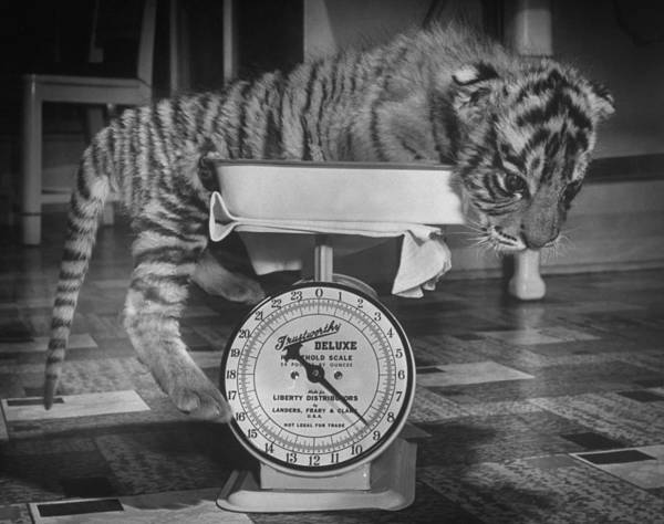 Wall Art - Photograph - Rajpur, A Tiger Cub, Being Weighed On A by Alfred Eisenstaedt