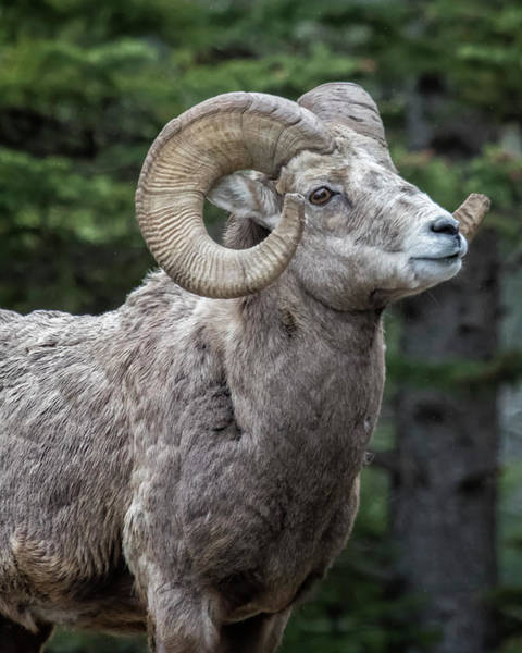 Photograph - Ram's Best Side by Belinda Greb