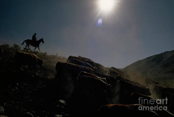 Photograph - Ranch Hand Herds Cattle Down From The Hills by Dean Conger