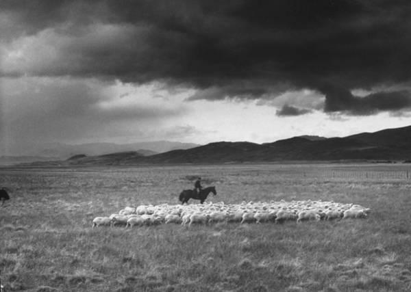 Rancher Herding Sheep At El Condor Sheep Art Print