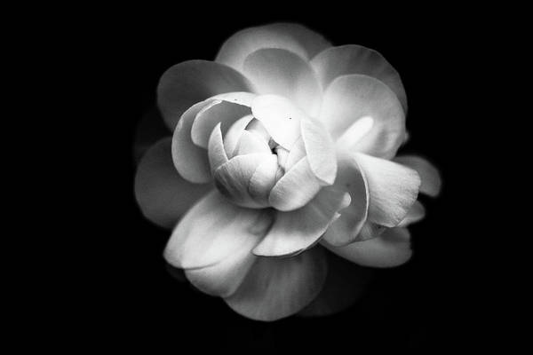Black Background Photograph - Ranunculus Flower by Annfrau