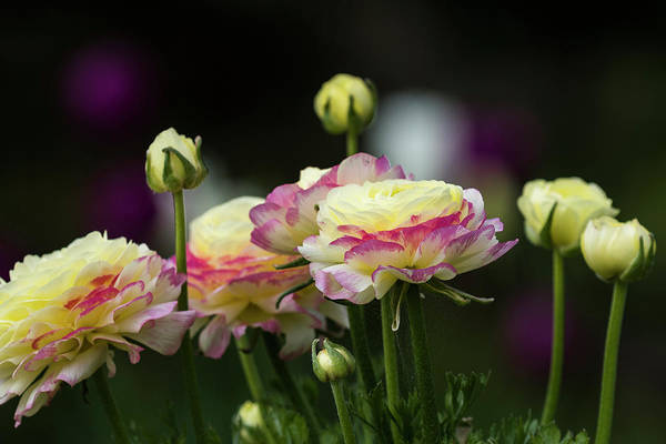 Photograph - Ranunculus In Bloom by Robert Potts