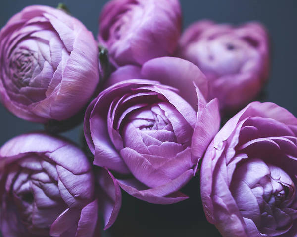 Wall Art - Photograph - Ranunculus Nine by Lupen Grainne